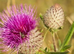 Milk thistle for natural liver support